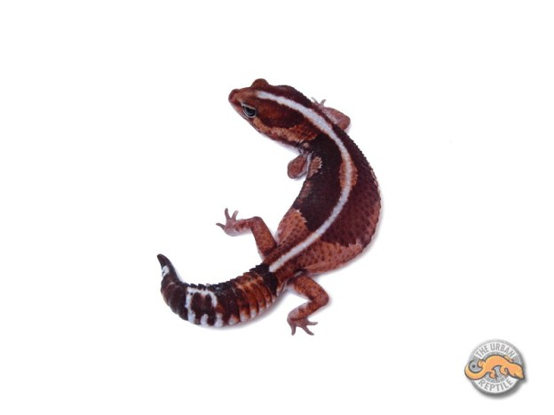 Гемитеконикс Зеро / Африканский толстохвостый геккон морфы Zero / Zero Hemitheconyx caudicinctus / Zero Fat tailed gecko
