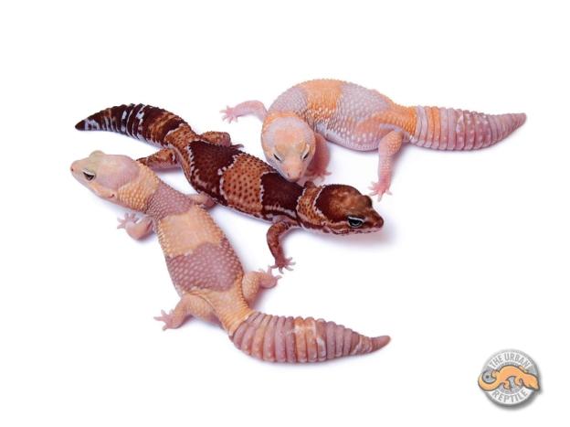 Морфы гемитекониксов / Hemitheconyx caudicinctus morphs / African fat tailed geckos morphs