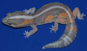 Гемитеконикс Ghost, Африканский толстохвостый геккон морфы Ghost