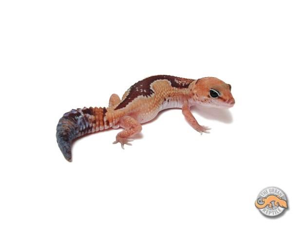 Гемитеконикс Зулу / Африканский толстохвостый геккон Zulu / Zulu Hemitheconyx caudicinctus / Zulu Fat tailed gecko