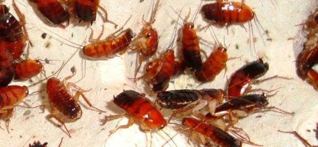 Туркменский таракан или Shelfordella tartara является вторым по популярности кормовым насекомым после сверчка. Преимуществ у этих таракана множество: они не бегают по стеклу, имеют мягкий хитиновый покров (который легко переваривается всеми видами рептилий), имеют небольшой размер (до 2,5 — 3 см.)и легки в содержании. Не зря Туркменский таракан является таким востребованным и популярным среди террариумистов и других любителей домашней живности. Правильное содержание и разнообразный рацион питания этих тараканов делают их отличной добавкой к рациону ваших питомцев. Именно о качестве содержания и питания наших Туркменских тараканов мы всегда и заботимся. Приобрести Shelfordella tartara вы всегда можете у нас!