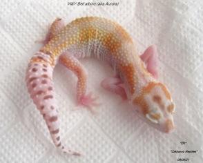 Эублефар Бель альбино / Леопардовый геккон морфы Белл альбино