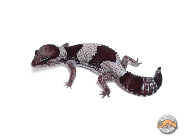 Гемитеконикс Орео / Африканский толстохвостый геккон морфы Oreo / Oreo Hemitheconyx caudicinctus / Oreo Fat tailed gecko