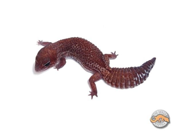 Гемитеконикс Паттернлесс / Африканский толстохвостый геккон морфы Patternless / Patternless Hemitheconyx caudicinctus / Patternless Fat tailed gecko